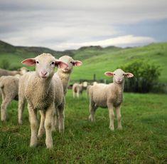 Het is lente! Lammetjes in de wei.