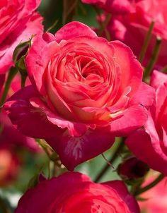 Midsummer ~ Floribunda Rose