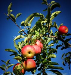 2 Ps in a Pod Designs original photograph - apple tree