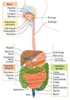 Digestive system unlabeled digestive system diagram unlabeled human resultado de imagen para sistema digestivo ccuart Image collections
