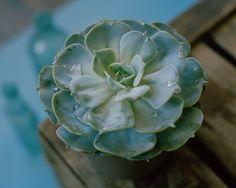 Pale Blue Eyes, Plants, King, Succulents, Plant, Planets