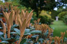Rhododendron (russett new growth) | Flickr - Photo Sharing!