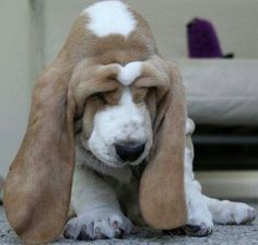 Basset puppy looks kind of droopy