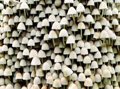 malformalady: Fairies Bonnets(Coprinellus disseminatus) are a species of mushroom in the Psathyrellaceae family. Unlike most other Coprinoid mushrooms, C. disseminatus does not dissolve into black ink in maturity. European Garden, Gnome House, Fungi, Amazing Gardens, Stuffed Mushrooms, Maturity, Fairies, Ink, Friends