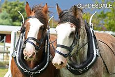 clydesdale.jpg (300×202)