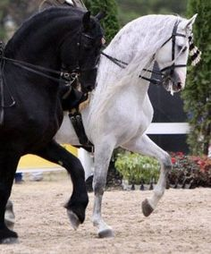 Baroque - (adjective) A term used to describe horses descended from the middle ages who showed artistic agility and yet power in movement. B - a- -r- -o -k - e - (noun) A term used to describe most middle aged Horse people who have decended upon a Feed Store or Tack Shop...