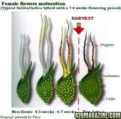 Tips on harvesting, and when to harvest cannabis ~ female flower maturation