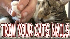 How to trim/cut your cat's nails the HUMANE WAY - Tutorial (3 min). This kitty is PURRING while he trimmed her nails!