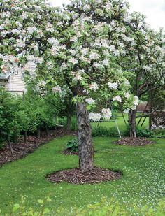 Omenapuun hoito-ohjeita.
