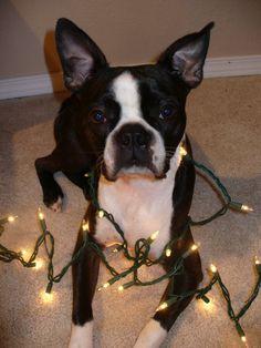 Boston Terrier Christmas Photos - Boston Terrier Secrets