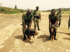 Congohounds being trained to track poachers in the Virunga National Park, DRC