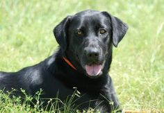 Meet+River,+a+Petfinder+adoptable+Labrador+Retriever+Dog+|+Canyon+Lake,+TX+|+Hi,+I'm+River+a+well+mannered+black+lab.+I+enjoy+being+around+kids+as+well+as+adults.+I+know+how+to...