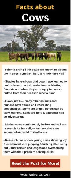 Pinterest Pin: Facts About Cows (Cattle)–Sentience, Intelligence and Social Behaviour