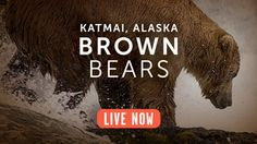 This is  LIVE CAMERA FEED of Alaskan bears at Katmai National Park, where they come often to catch fish. So cool -- and so much #SicEm!