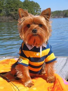 The Popular Pet and Lap Dog: Yorkshire Terrier - Champion Dogs Yorkies, Yorkie Puppy, Maltipoo, Cute Puppies, Cute Dogs, Dogs And Puppies, Yorkshire Terriers, Animals Beautiful, Cute Animals