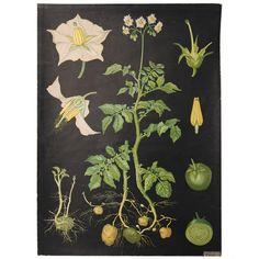 Vintage Decorative Art - For Sale at Botanical Illustration, Botanical Prints, Vintage School, Graphic Design Posters, Vintage Travel Posters, Pictures To Paint, Vintage Images, Vintage Prints, Art Decor