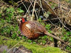 Breeding Pheasants for Fertile Eggs | RaisePheasants.com Guide to Breeding and Mating Pheasants