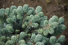 Picea pungens 'St. Mary's Broom' - St. Mary's Broom Colorado Spruce - Buy at Conifer Kingdom