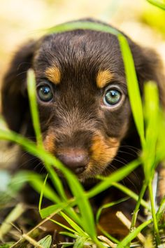 Occhi Innocenti - Little puppy dog looking with beautiful eyes