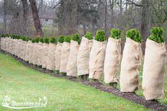 Если Вы знаете, как укрыть туи на зиму, то вашим растениям не страшны морозы зимой и яркое солнце весной. Узнайте, как подготовить молодую тую к зиме, когда укрывать туи на зиму, а также…
