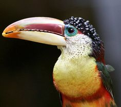Pretty hard to beat the slick curls of the curl-crested aracari.