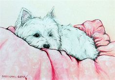 Napping Westie