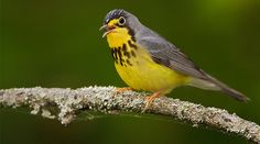 The Canada Warbler – a charismatic and charming garden bird needs protection. SWAROVSKI OPTIK became BirdLife International Species Champion! Find more about the bird and project in our blog: http://www.swarovskioptik.com/nature/blog/Canada_Warbler_01 #SpeciesChampion #conservation