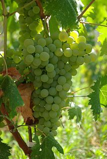 Vermentino is a late-ripening white grape variety, primarily found in Italian wine. It is widely planted in Sardinia, in Liguria primarily under the name Pigato, to some extent in Corsica, in Piedmont under the name Favorita, an