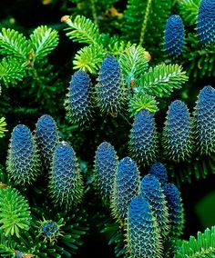 The Korean Fir (Abies Koreana) is a very rewarding conifer with glossy, green needles that are silver-coloured on the underside. Even young trees are adorned with pretty, violet-blue cones that grow up to 7 cm long.