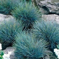 OnlinePlantCenter - Elijah Blue Fescue Grass - This hardy compact plant makes a nice ornamental accent or use in mass to create an extremely decorative ground cover. Well suited for edging or in the rock garden. Home Landscaping, Landscaping With Rocks, Front Yard Landscaping, Dessert Landscaping, Front Yard Plants, River Rock Landscaping, Landscaping Edging, Rock Garden Plants, Fescue Grass