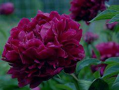 Cricket Hill Garden, Mystery Peony | Peonies | Pinterest | Hill Garden,  Peony And Gardens