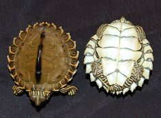Pearl River Map Turtle for sale from The Turtle Source #PearlTheTurtle #LOL4
