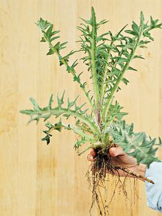 Weed Identification Guide ~ Musk Thistle:  Type: Broadleaf biennial weed;  Size: To 6 feet tall and 18 inches wide;  Where it grows: Landscape and garden areas in full sun;  Appearance: Prickly leaves off of tall stems topped by heavy 2-inch purple flowers;  Control: Mulch to prevent it; use a post-emergence herbicide or dig it out.