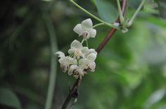 Schijnkomkommer / Akebia quinata shirobana