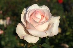 Pale Pink Roses Porcelain Ludwigs As The Name Implies This Is A Combination Of Fine