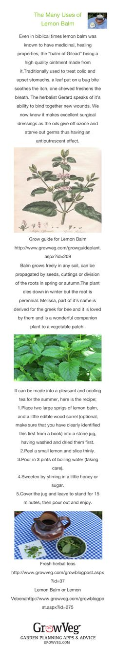 The many uses of lemon  balm, some of it's many healing properties which are as relevant today as they have ever been, it's use in the vegetable garden as a companion plant for bees and pollinators, a refreshing tea recipe and other links and information on how to grow it and how to use it from growveg.com