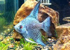 Blue Smokey Leopard Angelfish...