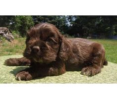 Chocolate Cocker Puppies For Sale | Chocolate Cocker Spaniels | Male Cocker Spaniel For Sale in Morrison ...