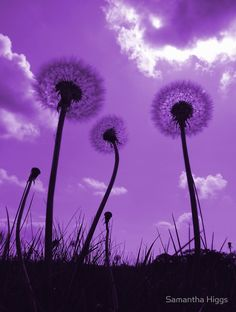 Purple Dandelions by Samantha Higgs - available on Red Bubble
