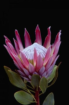Not a tropical flower - it is a King protea - Protea Cynaroides - Fynbos from South Africa Tropical Flowers, Flowers Nature, Exotic Flowers, Tropical Plants, Amazing Flowers, Beautiful Flowers, Spring Flowers, Lilies Flowers, Draw Flowers