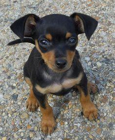 ♥DS♥ 222 Miniature Pinscher Puppy