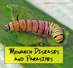 7 Common Monarch Diseases, Parasites, and Caterpillar Killers + How to Prevent… Butterfly Cage, Butterfly Garden Plants, Wood Butterfly, Butterfly House, Monarch Butterfly Habitat, Monarch Caterpillar, Hummingbird Garden, Chenille, Hummingbirds