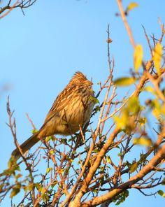 corta-ramos (Phytotoma rutila) por Gina Bellagamba   Wiki Aves - A Enciclopédia das Aves do Brasil