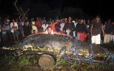 Lolong has hit the big time—at 20.24 feet (6.17 meters) long, the saltwater crocodile is officially the largest in captivity, the Guinness World Records announced in July. The monster reptile is the subject of the tenth most visited National Geographic News story of 2012. Suspected of attacking several people and killing two, the giant reptile was captured alive in the Philippines' Bunawan township  in September 2011. The Guinness listing is based on data by experts including crocodile…