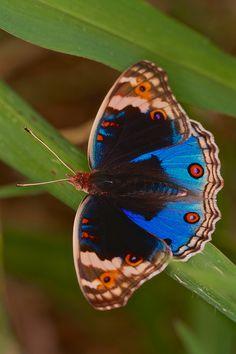 Blue Pansy (Junonia orithya)