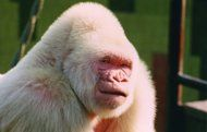 Snowflake the albino gorilla at the Barcelona Zoo. Snowflake died of skin cancer in 2003. They now (6-16-13) know that his Albinism was genetically linked to inbreeding.