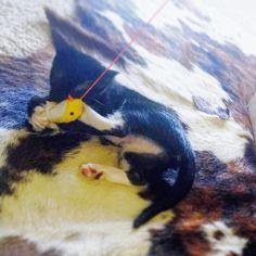 #cat #cats #kitten #kittens #kitty #tuxedocat