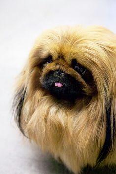 Pekingese- the Himalayans of the dog world. Want!