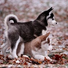 Huskies.....reminds me of ours when they were little :) love them!