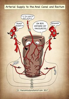 Arterial Supply of the Rectum and Anal Canal - The Comical Anatomist Cranial Nerves Anatomy, Nerve Anatomy, Human Body Anatomy, Medical Coding, Medical Science, Digestive System Anatomy, Basic Anatomy And Physiology, Anatomy Flashcards, Human Body Facts